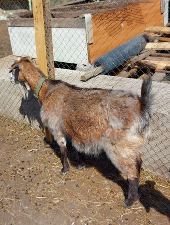 Пордам дойных, беременных коз