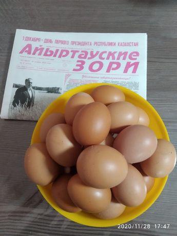 яйцо домашнее Саумалколь