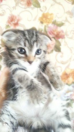 Вислоухий котенок в добрые руки.
