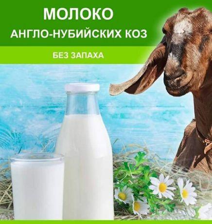 Молоко коз Англо- нубийской породы