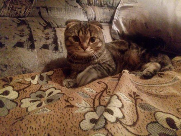 Вязка. Шотландский вислоухий кот.