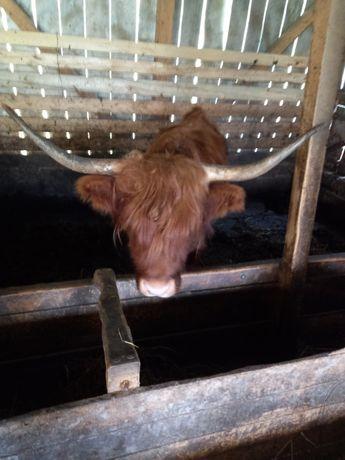 Vând vaca scoțiană schimb