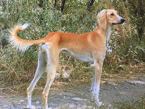 Продам щенков  Казахской Тазы(борзой)