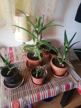 Aloe arboresin preturi mici