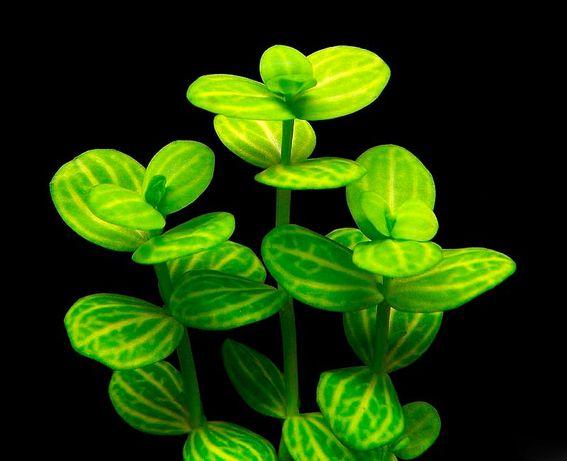 Аквариумное растение Линдерния круглолистная