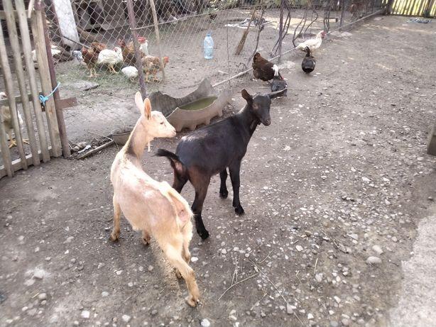 De vânzare capre