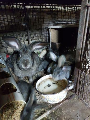 Продам кроликов большие и маленькие