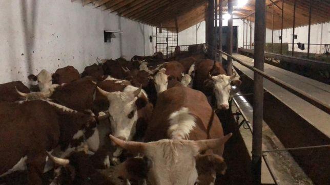Продаются коровы 3-х годовалые 30 голов!