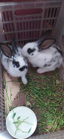 Кролики, зайчик 2 месяцев