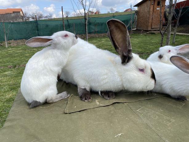 Vând iepuri