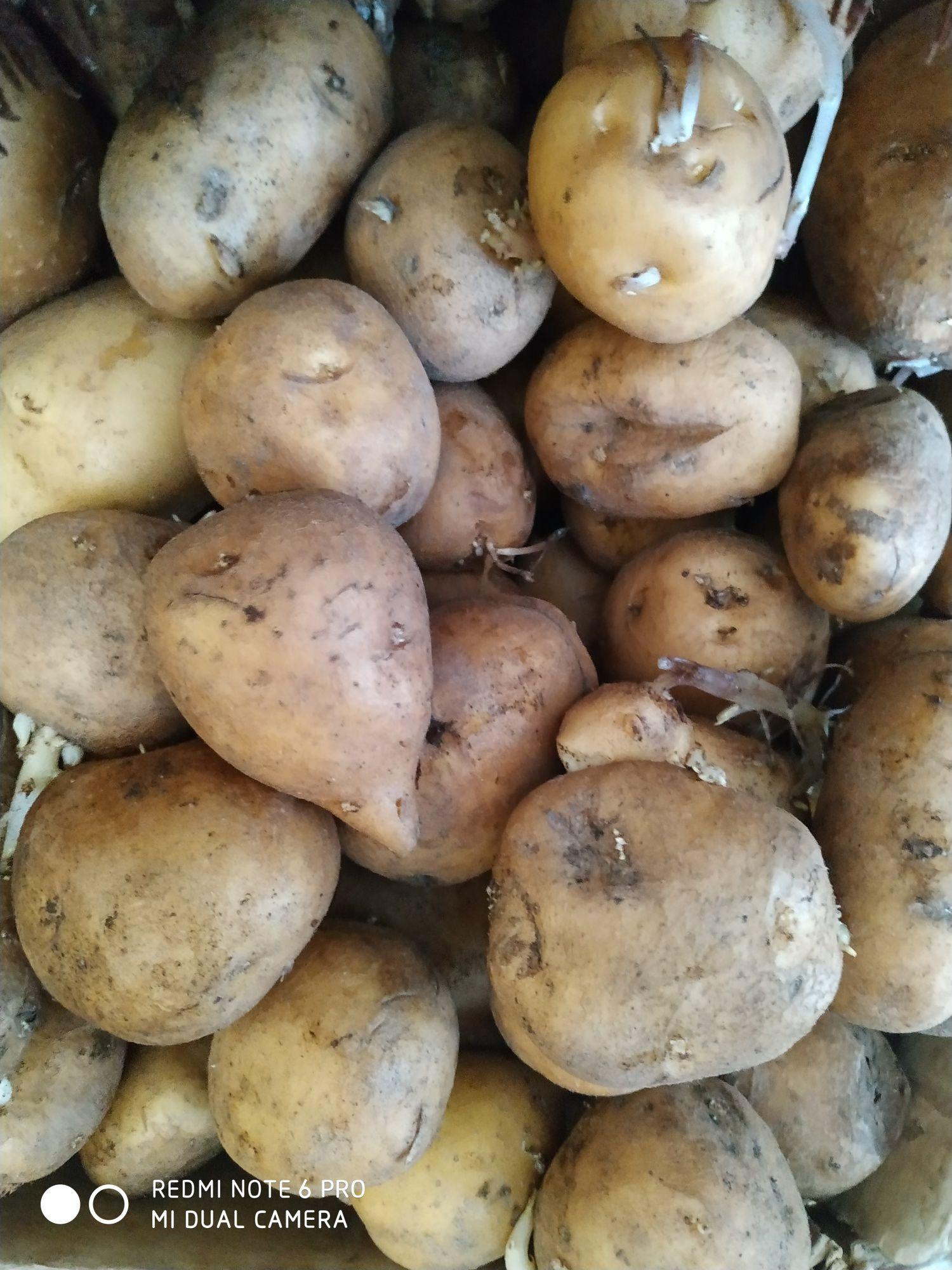 Продам картофель домашний в Красном Яре