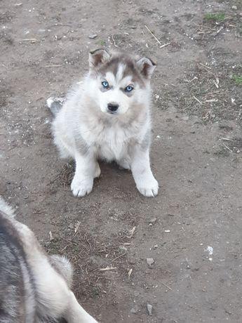 Продам щенка хаски