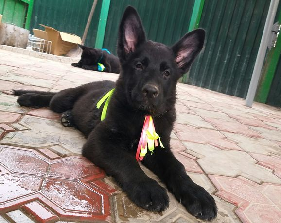 Подрощенные щенки немецкой овчарки черного окраса