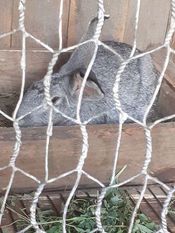 Продам кролика  8000