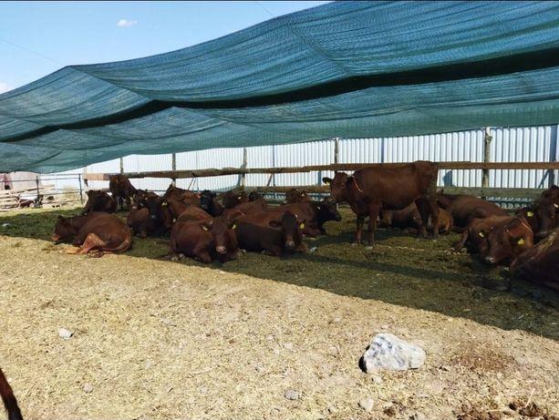 Бычки КРС мрс телята сатилады быки телка акбас Ангус герефорд
