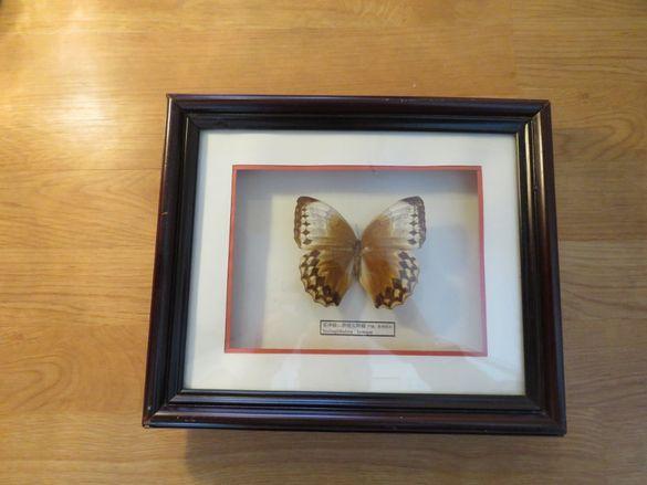 Стар красив екземпляр на китайска пеперуда Stichophthalma howqua