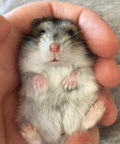 Джунгарский хомячок с клеткой.
