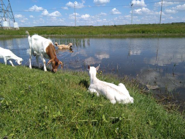 Lapte si branza de capra, carne de ied pentru Paste, livrare inclusa