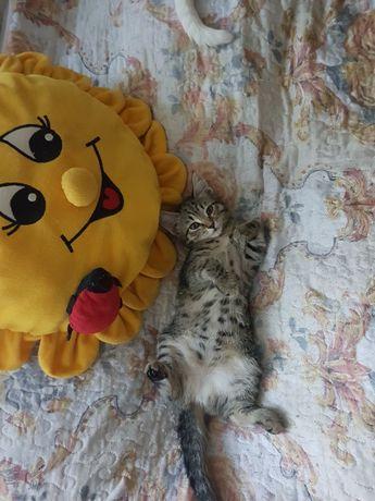 ТИГРИЦА котёнок девочка