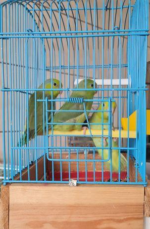 Papagal forpus coelestis