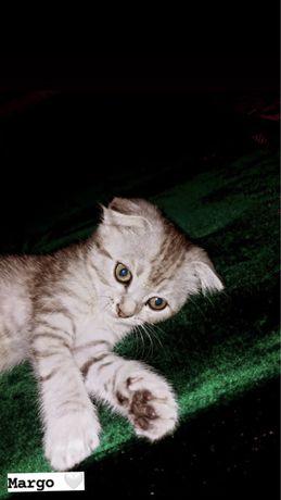 Продается котенок скоттиш фолд