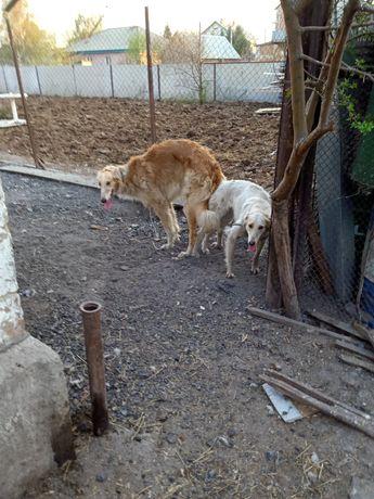 Продаю щенка русской псовой борзой