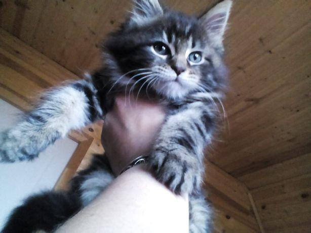 Продаю котят мейн кунов