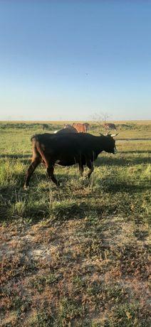 Продам  корову 280 000тг