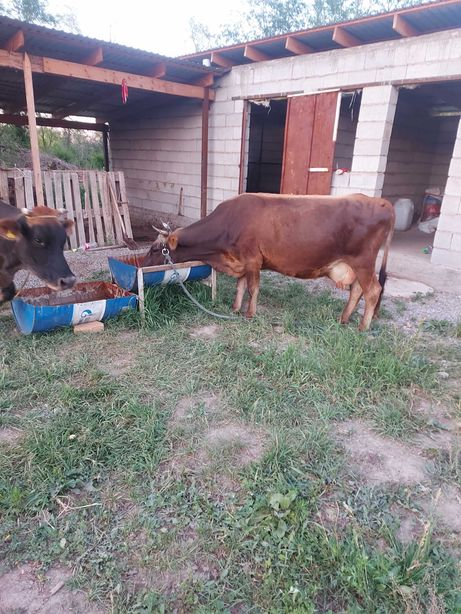 Корова с телёнка