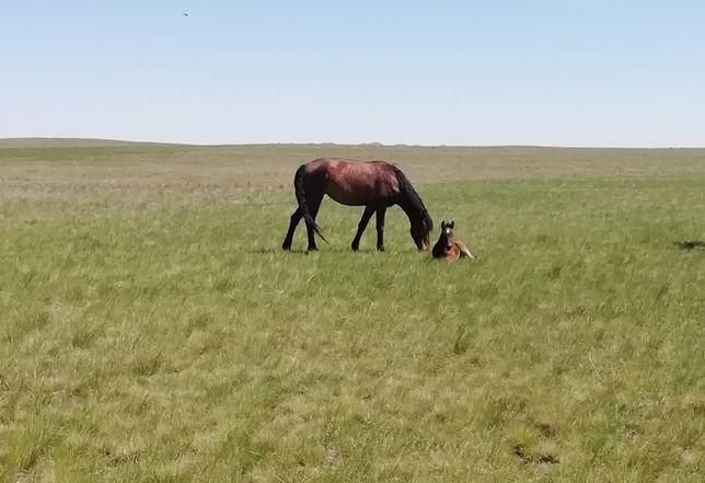 Продам лошадь с апрельским жеребенком