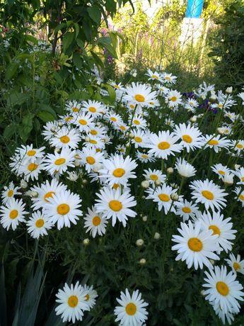 Рассада пиона,ромашки,колокольчика, лилейник ирисы и другие цветы.