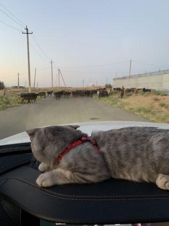 Шотландская кошка без документов в хорошие руки