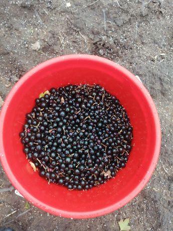 Свежая бесплатно доставка ягоды смородина каракат смародина облепиха