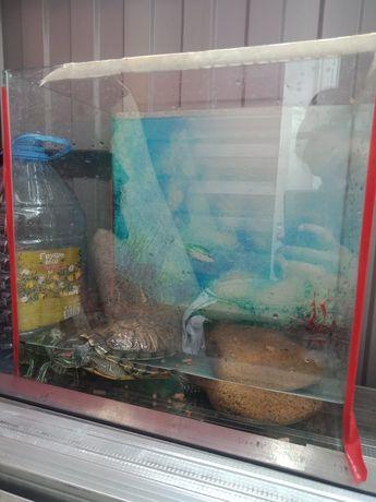 Черепаха красно ухая,  морская