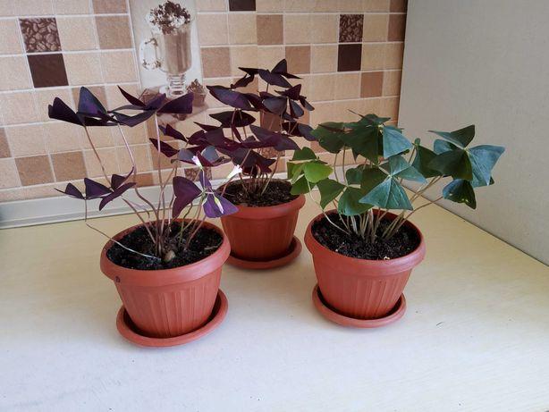 Комнатные цветы Кислица - Оксалис и Мирт