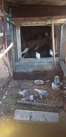 Продам молодых голубей