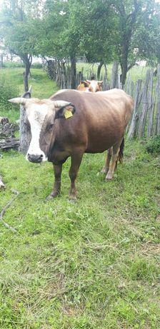 Vaca de vanzare ..