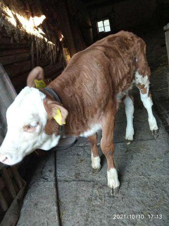 vitel peste o suta de kg