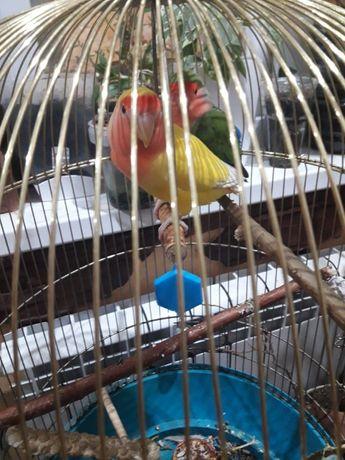 продам пару попугаев неразлучников