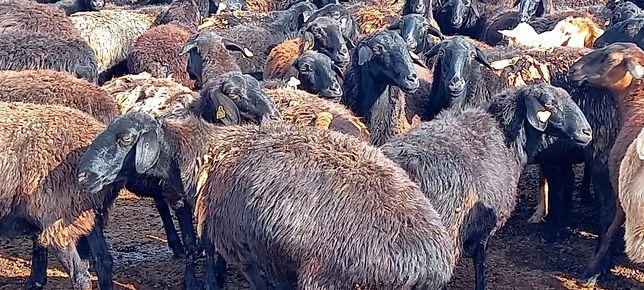 овцематки саулық