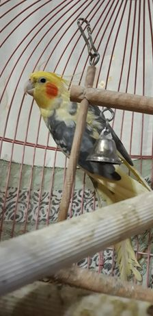 Попугай самец 7 лет