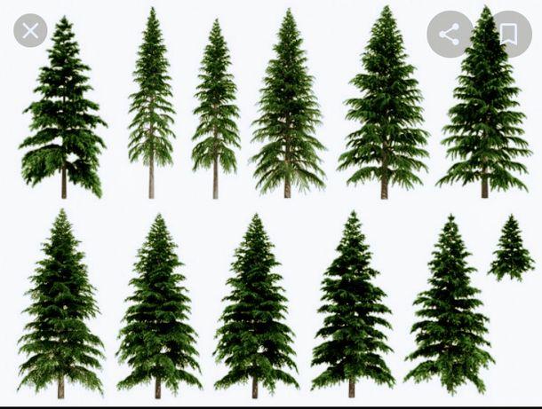 Реализуем саженцы  хвойных  деревьев,  ель колючая обыкновенная,   ель