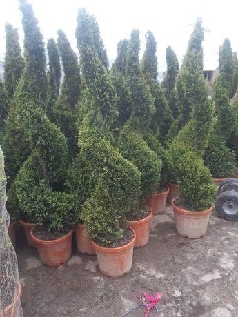 Plante ornamentale pentru o grădină de vis pt detalii si comenzi sunaț