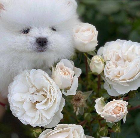 Щпиц щенки белые комочки