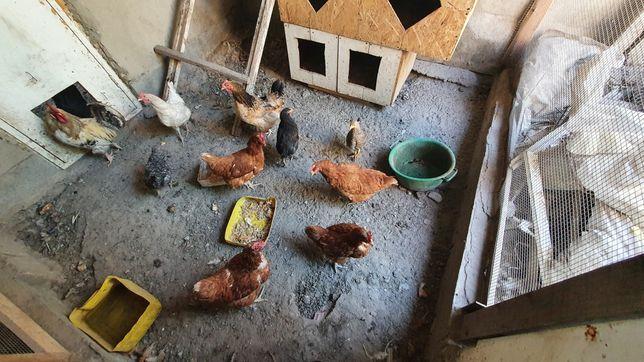 Продам куры, подросший цыплёнок
