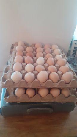Куриные     яйцо