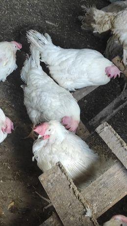 Куры несушки для яйца