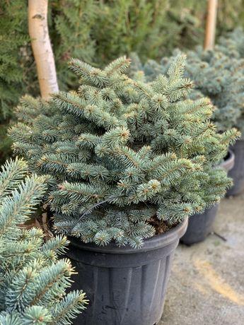 Picea P. globossa