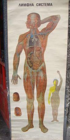 Анатомични постери