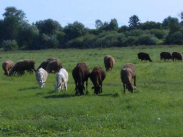 Продаем овец, Баранов, коз